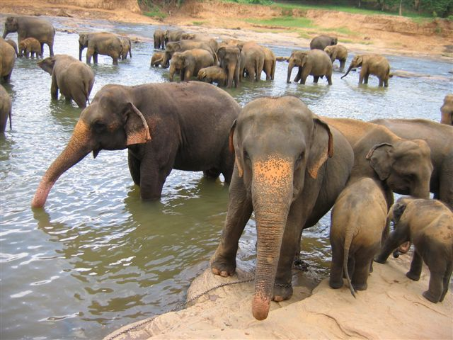 asian elephants conservation volunteer dream job