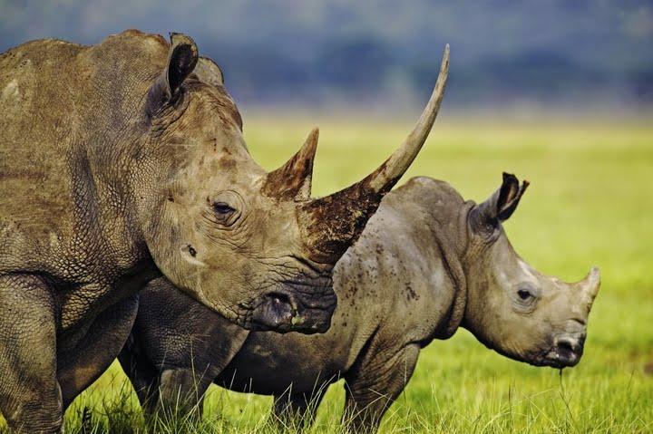 rhinos #justonerhino