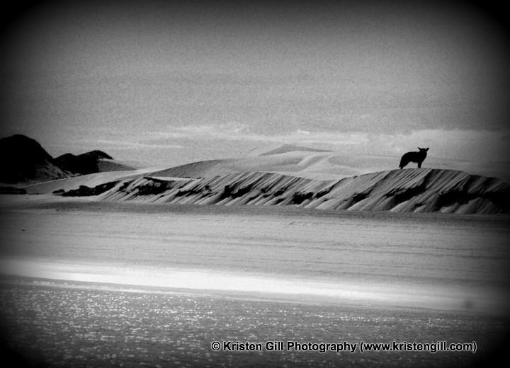 baja coyote by kristen gill photography