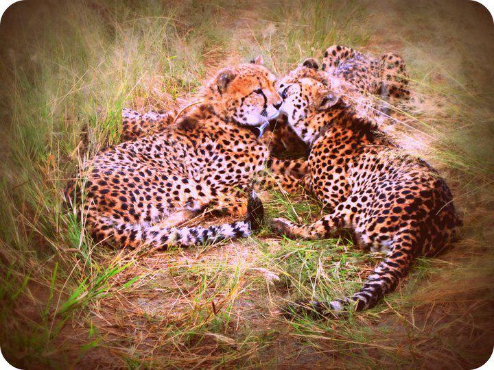 cheetahs namibia africat